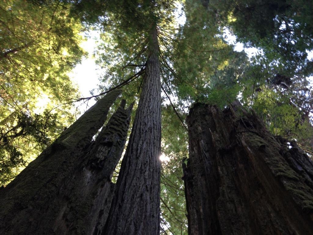 Sequoie © oltreilbalcone