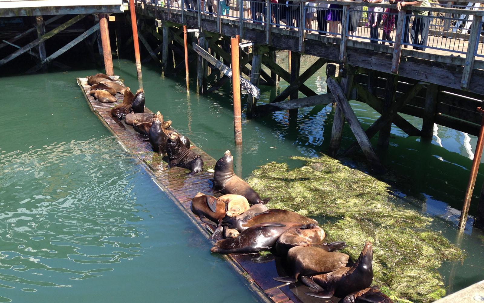 Leoni marini, si contendono la posizione sul molo di Newport, sotto gli occhi dei turisti curiosi.