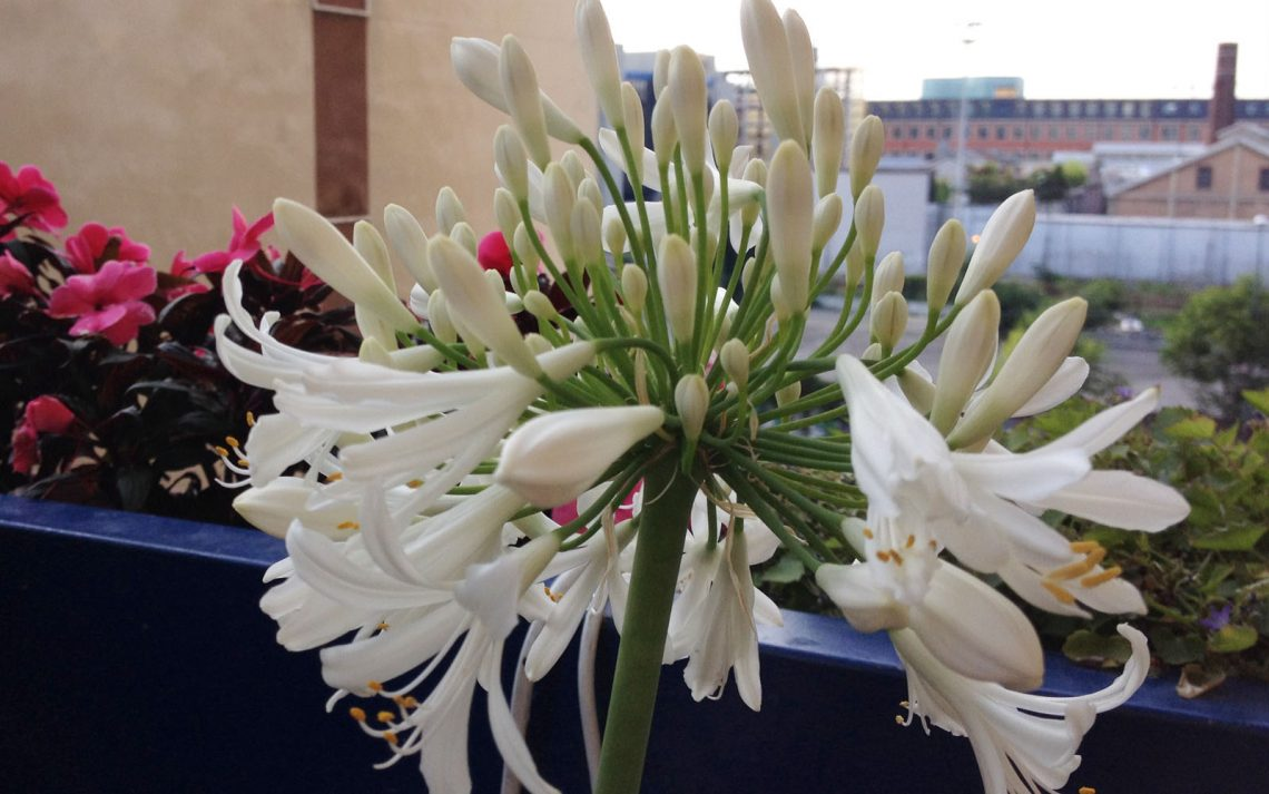 Agapanto fiore