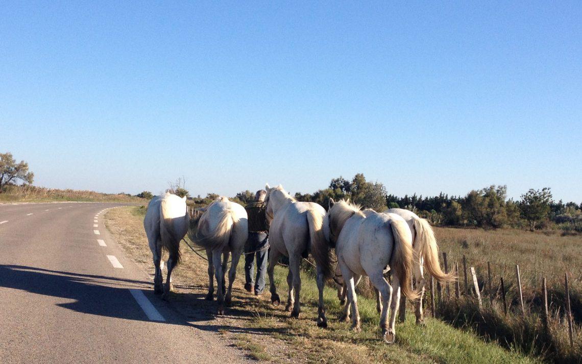 Camargue cavalli