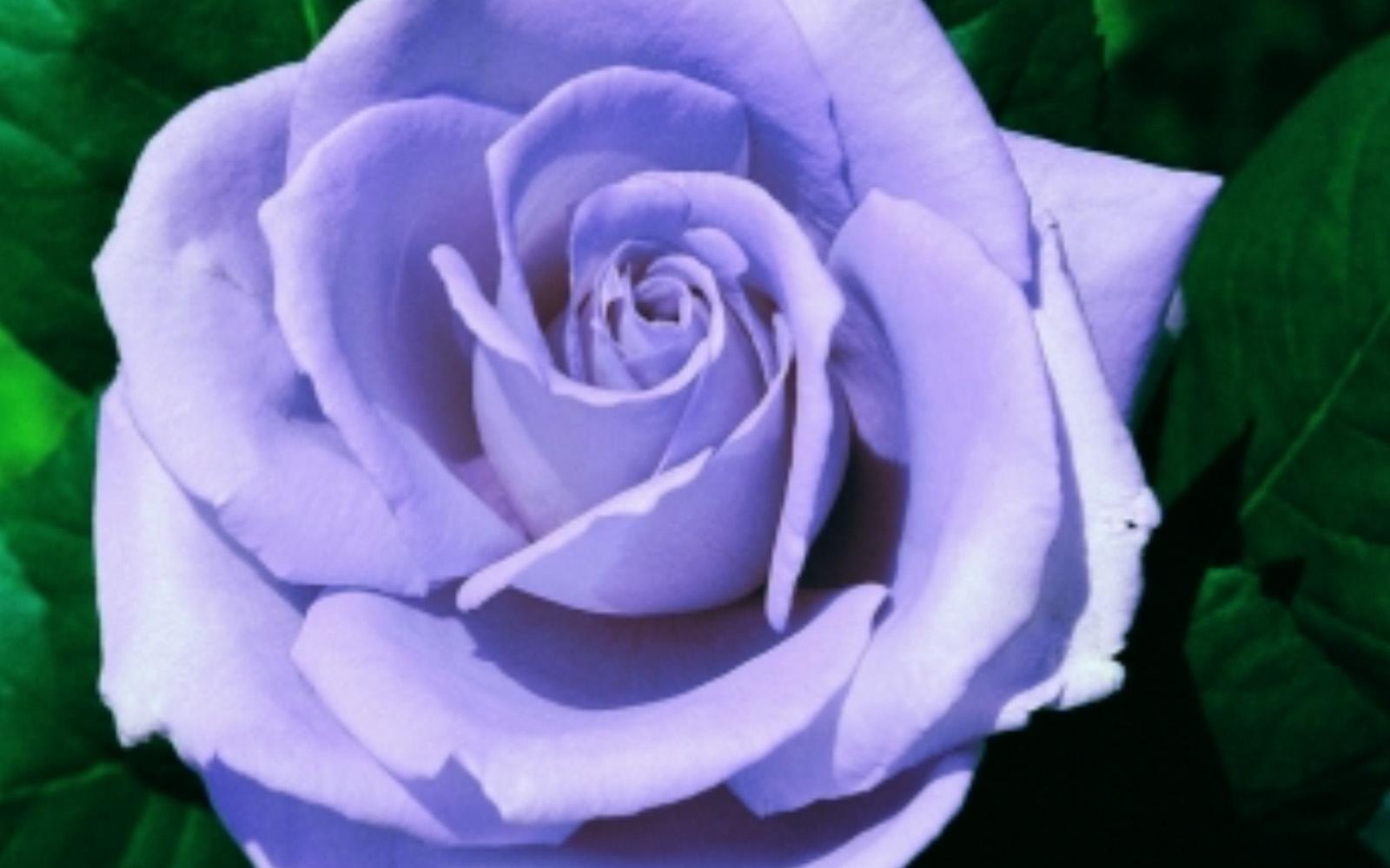 Rosa Blue Monday