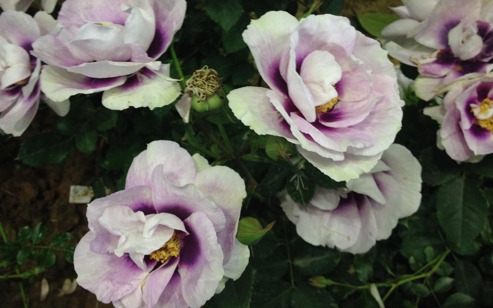 Rosa Occhi per Te.