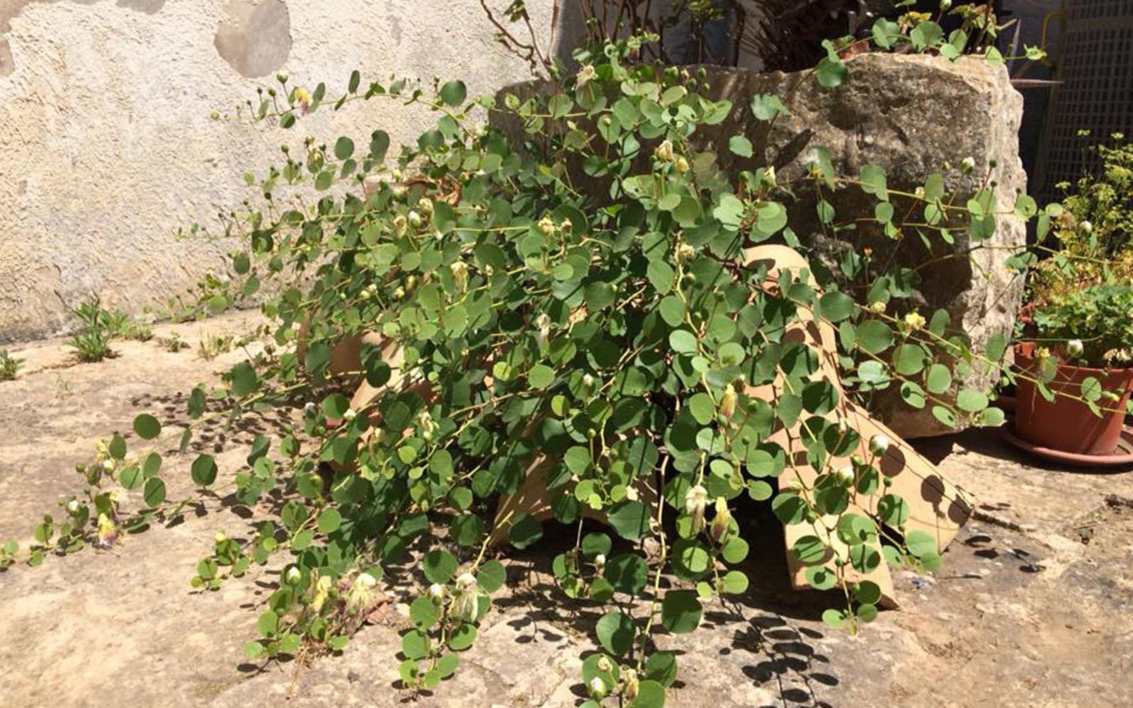 La pianta di cappero ammirata in Sicilia, nata dal pavimento in pietra.