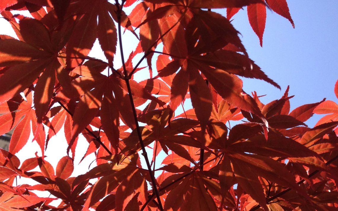 Perchè Acero Rosso Diventa Verde l'acero e i colori dell'autunno: coltivazione, usanze e