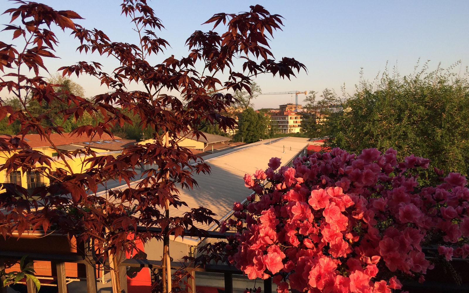A sinistra, l'acero sul mio terrazzo milanese.
