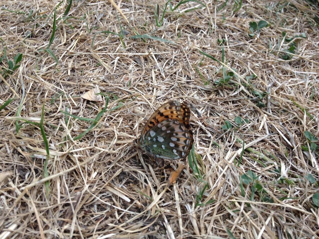 Una farfalla, in Val d'Ayas.