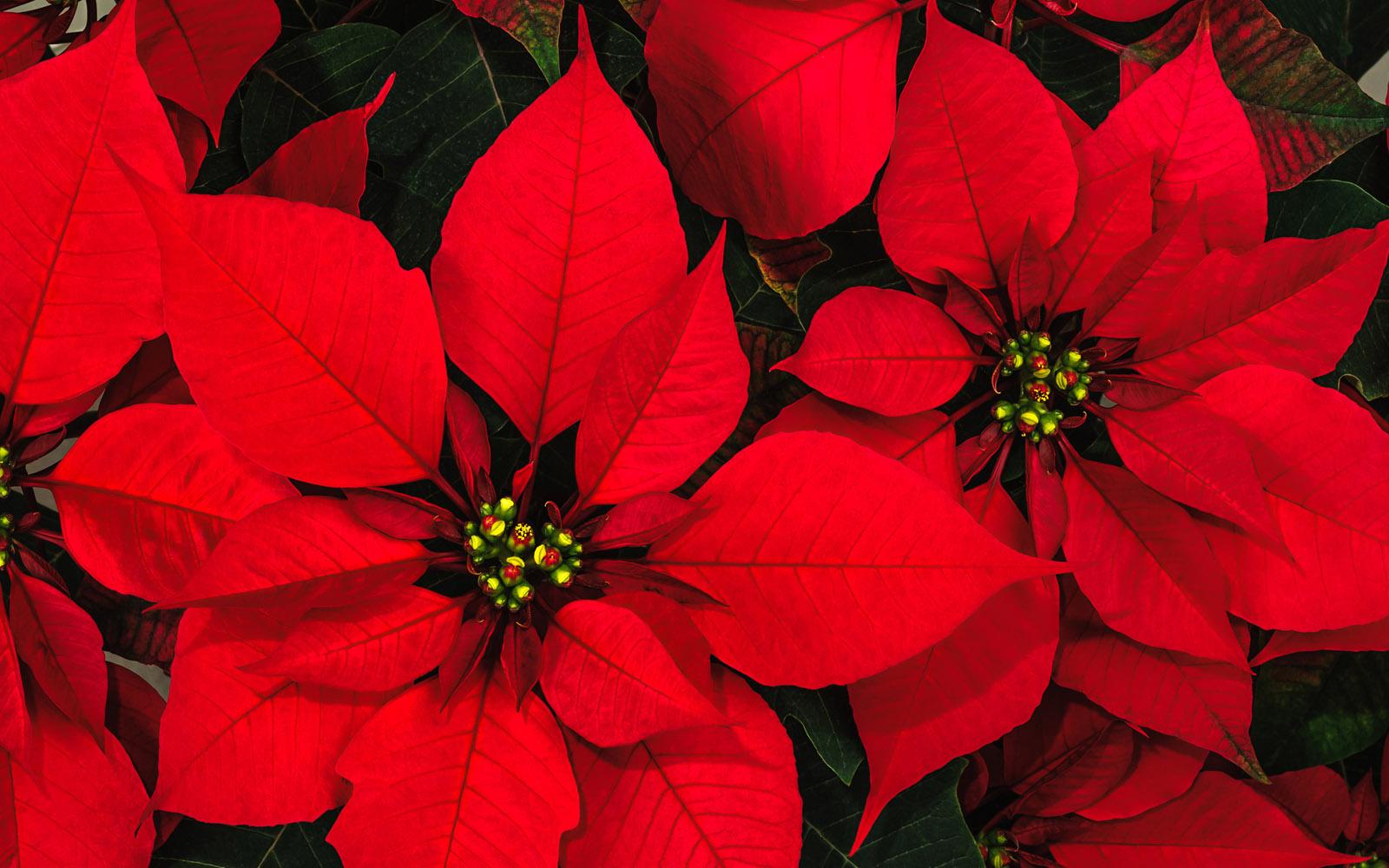 Altro Nome Della Stella Di Natale.Stella Di Natale La Pianta Delle Feste Oltreilbalcone