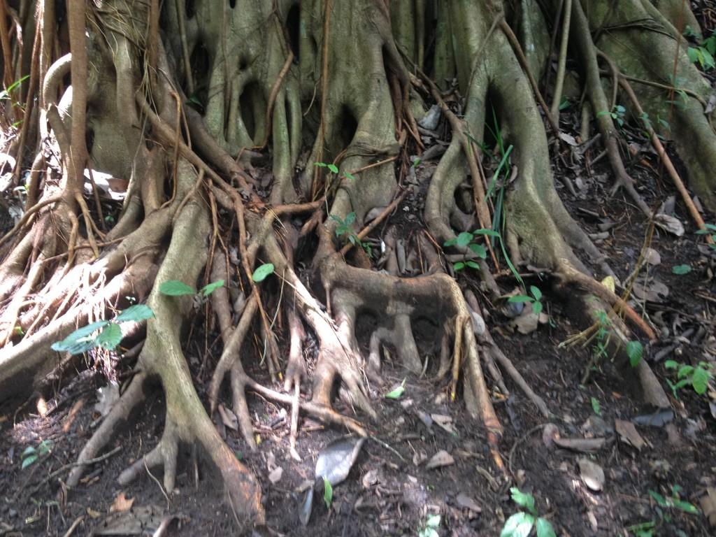 Il fico del banian, un albero bicentenario dalle molteplici radici.
