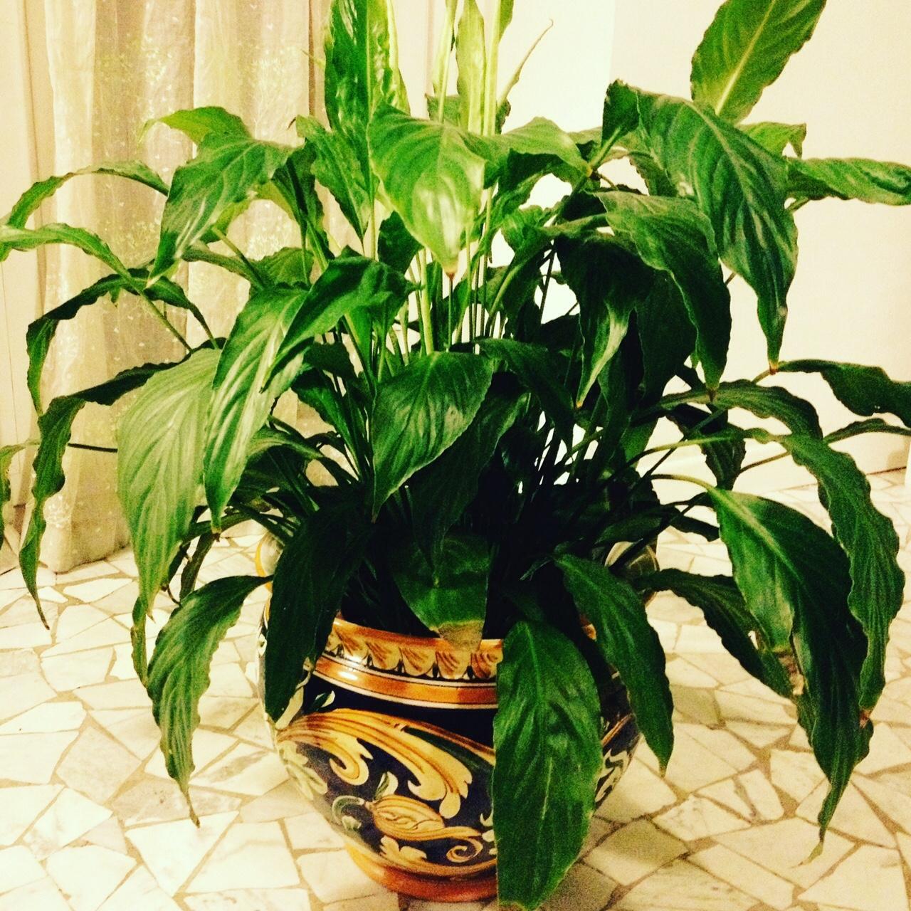 Spatifillo eleganza senza pretese oltreilbalcone for Spatifillo pianta