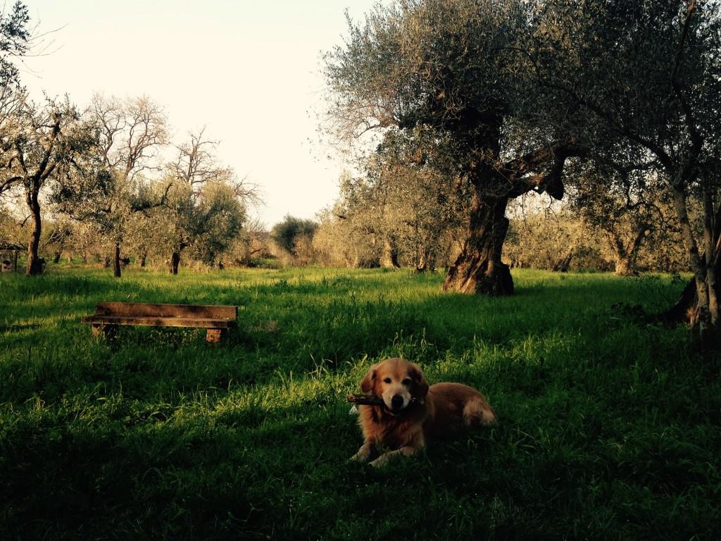 Gli ulivi del Podere Trinci e il mio cane, Felakuti. @oltreilbalcone