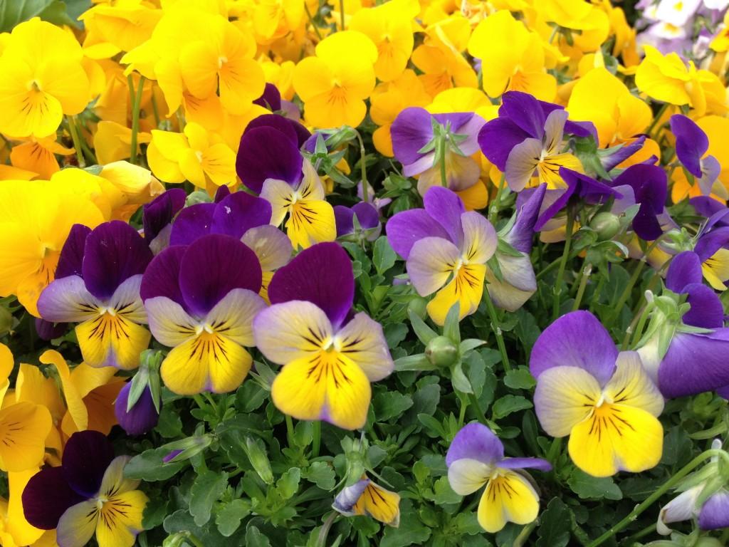 Tra le mie viole preferite, le bicolori gialle e viola.