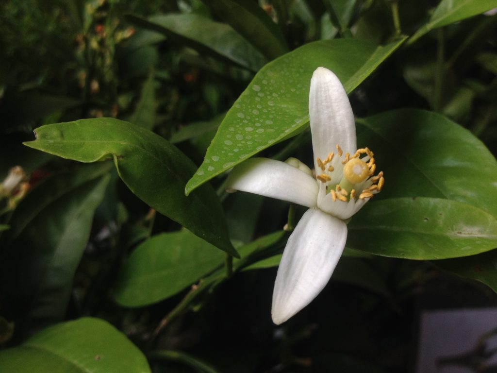 Lime di Tahiti, Flora et Decora @oltreilbalcone