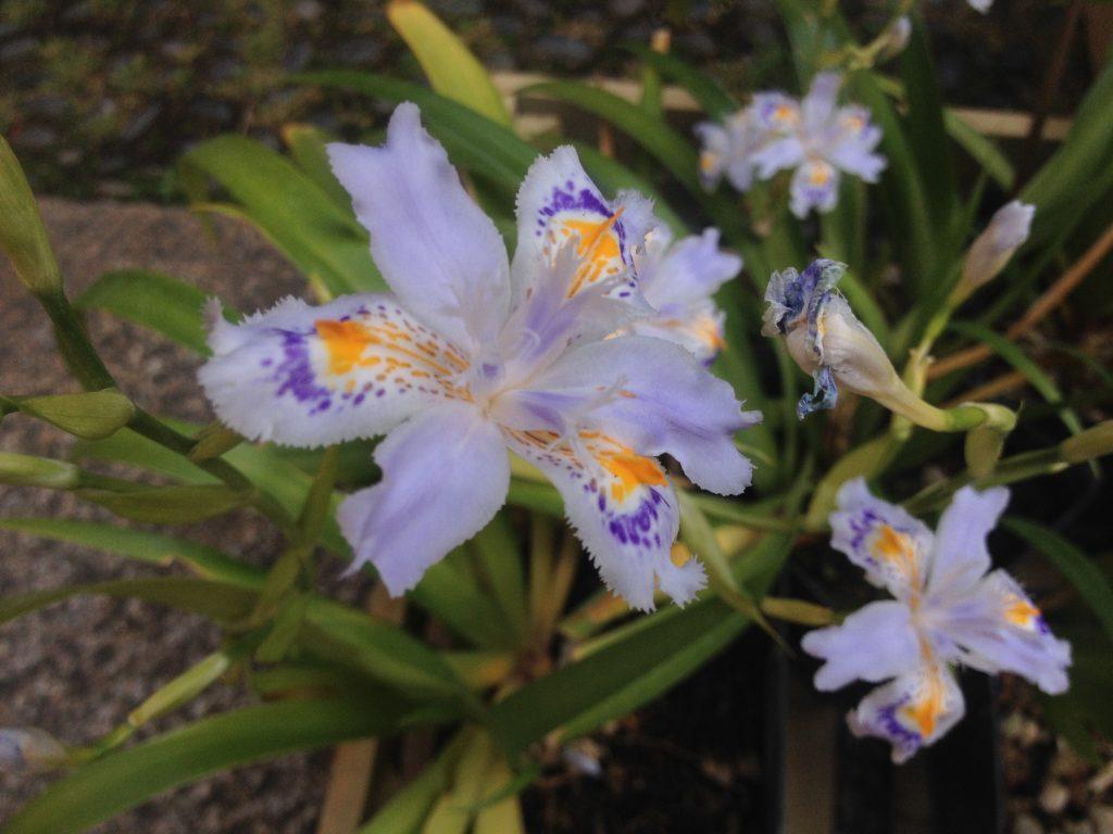 Iris, Flora et Decora @oltreilbalcone