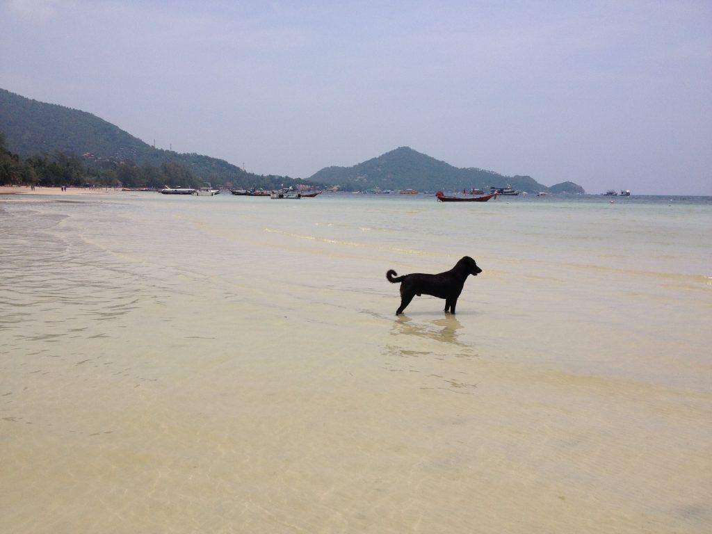 Un cane fa il bagno nelle acque di Ko Tao