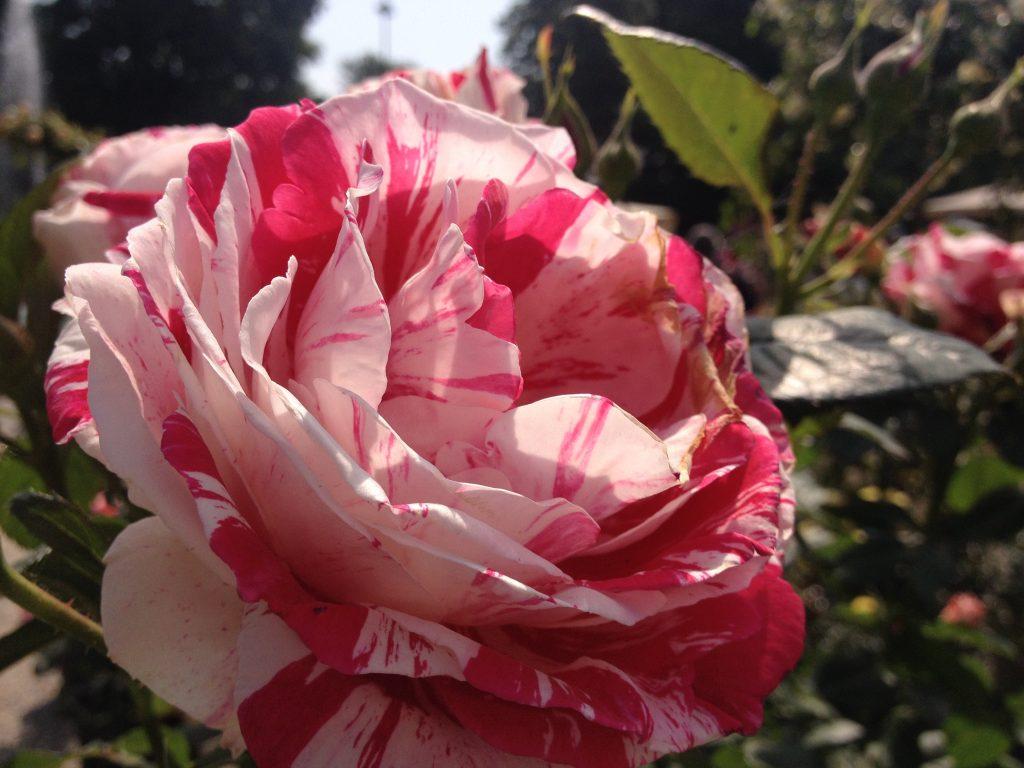 Esemplare di rosa, ammirato ad Orticola 2016