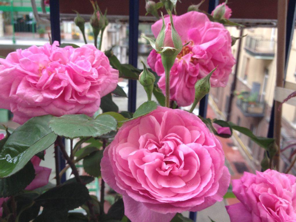 Rosa Gertrude Jekyll @oltreilbalcone