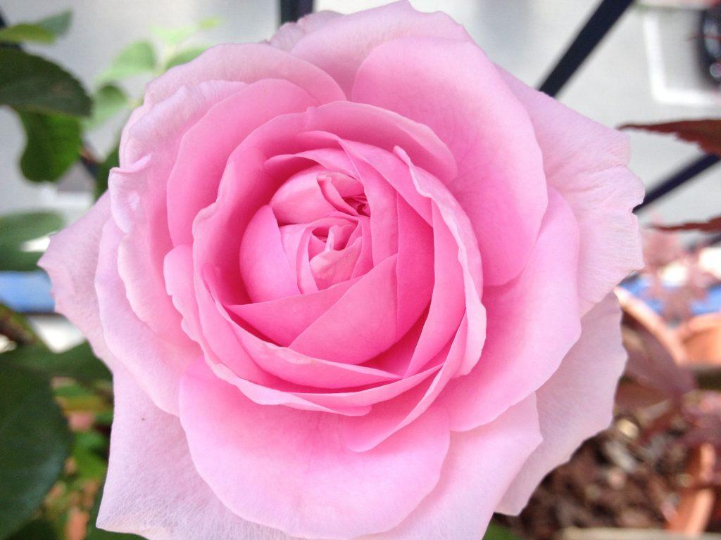 La mia rosa Gertrude Jekyll (anche nell'immagine di copertina) @oltreilbalcone