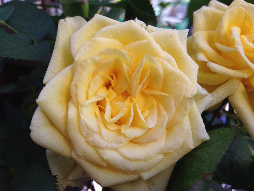La rosa gialla, regalatami da amici