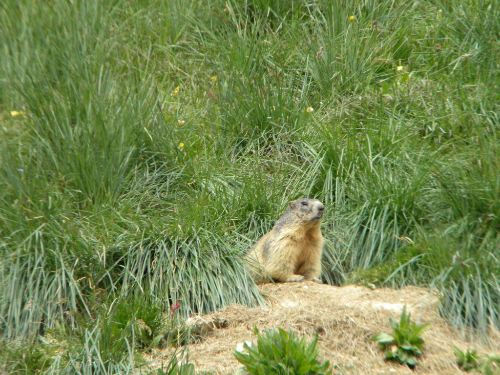 Marmotta nel Parco del Queyras. @oltreilbalcone