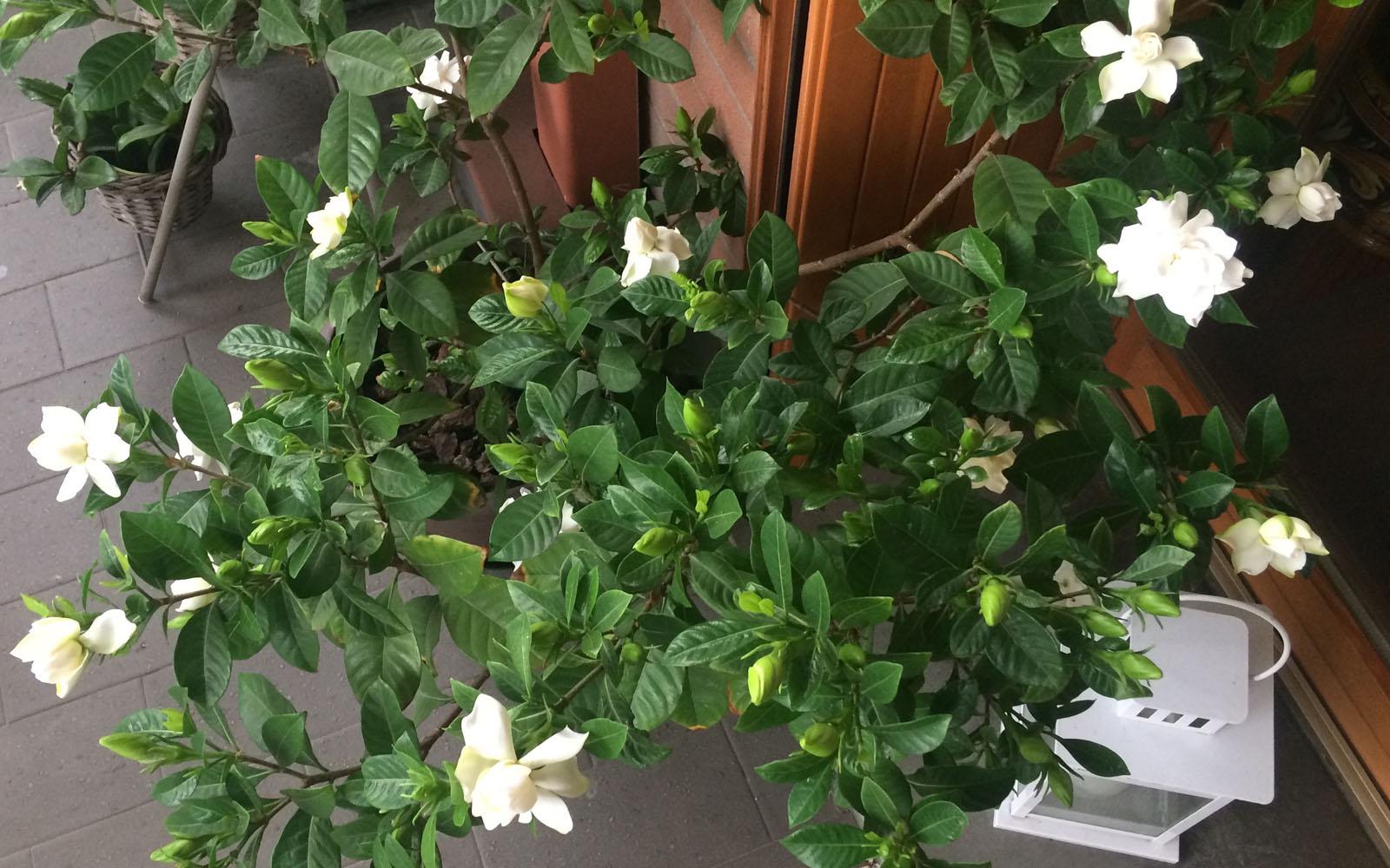 La mia gardenia, tra fiori e boccioli.