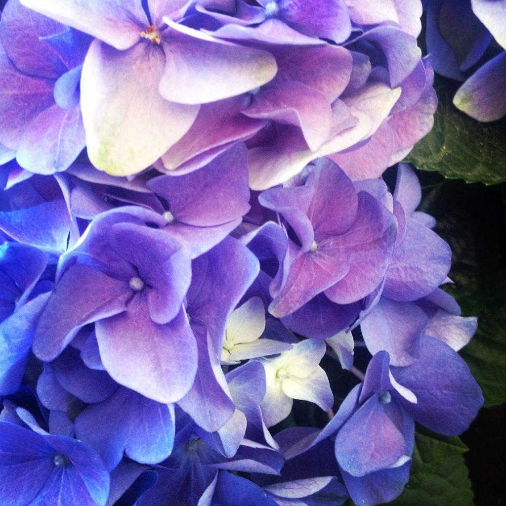 Un'ortensia dalle sfumature viola.