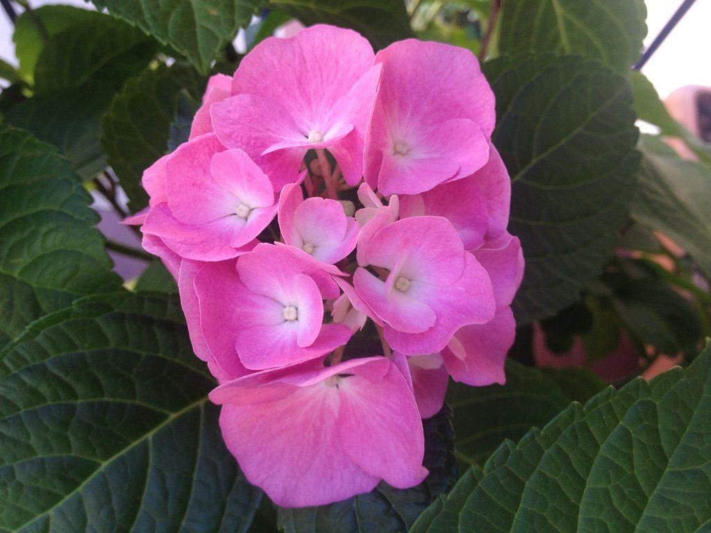 La mia ortensia rosa. Le fioriture vanno da maggio ad ottobre.