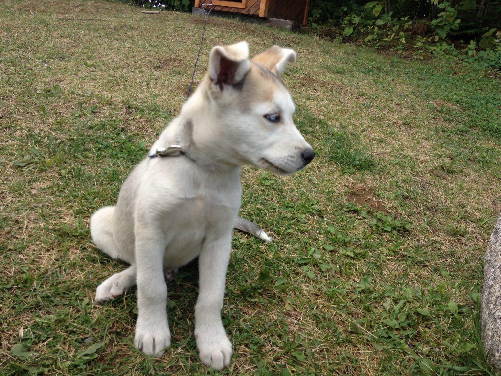 Cucciolo di husky. @oltreilbalcone