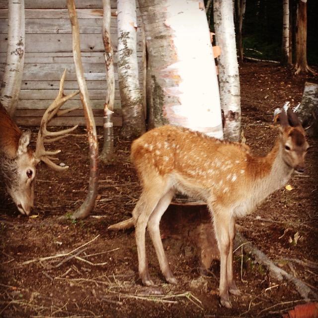 Un cervo rosso e Bambi, incontrati nella foresta. @oltreilbalcone