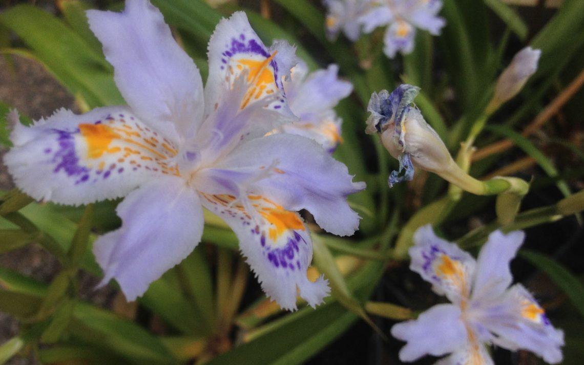 Iris © oltreilbalcone