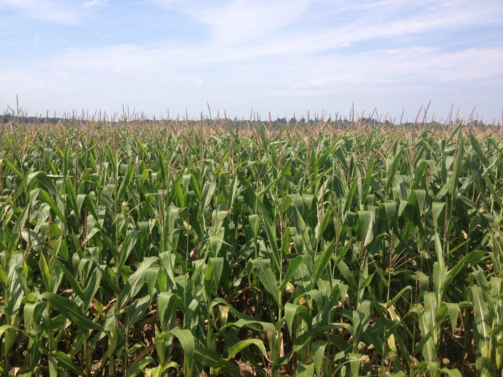 Campo di grano nei Cantons-de-l'Est.