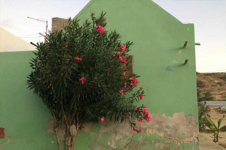 Un oleandro davanti ad una casa verde menta, a Bofareira. Boa Vista