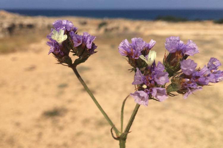 Un esemplare di Athanatos, fiore molto comune a Cipro. Paso
