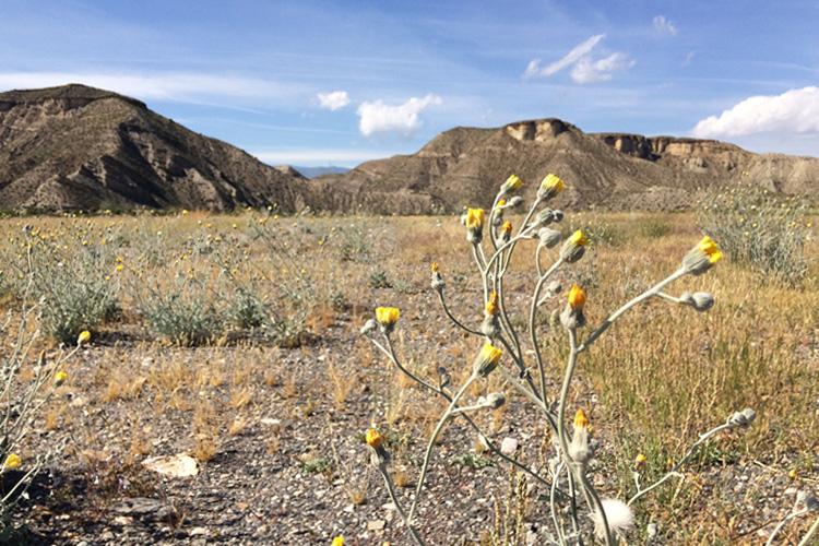 Fiori gialli nel deserto di Tabernas