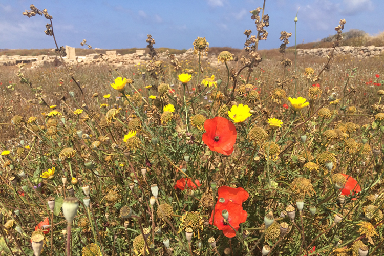 Fiori spontanei nel sito delle Tombe dei Re, a Pafos.
