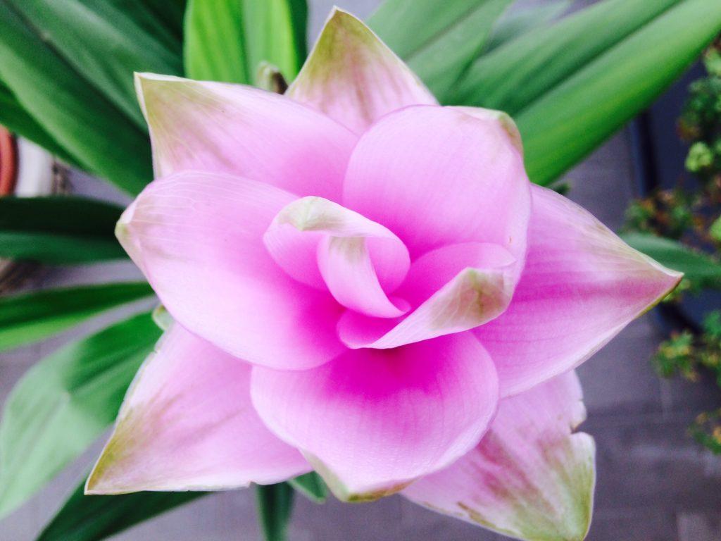 fiore rosa della curcuma