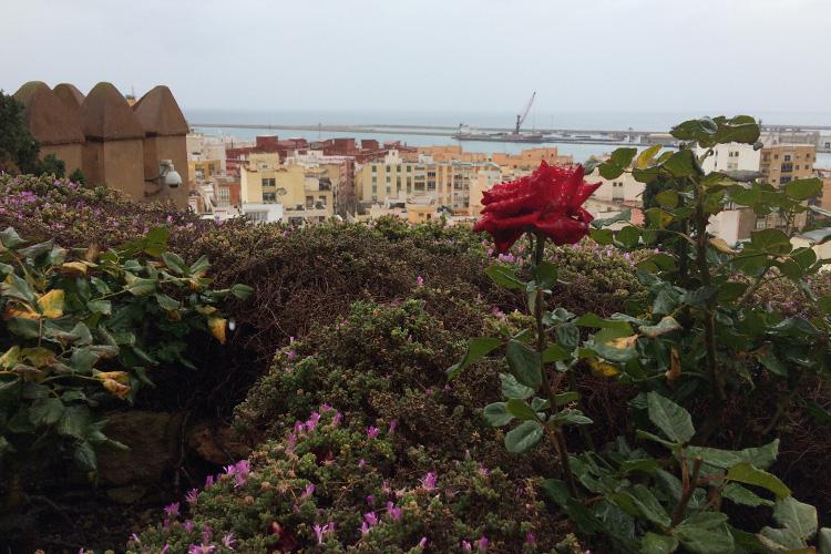 Una delle bellissime rose rosse nel giardino dell'Alcazaba.