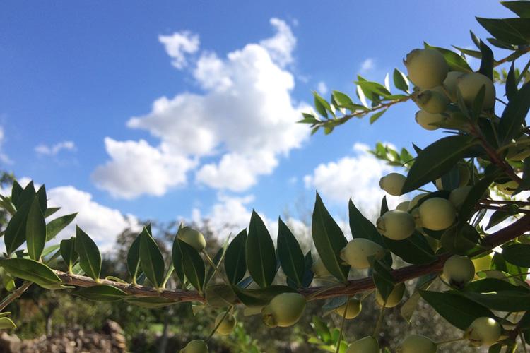 Una pianta di mirto, in autunno, in Sicilia.