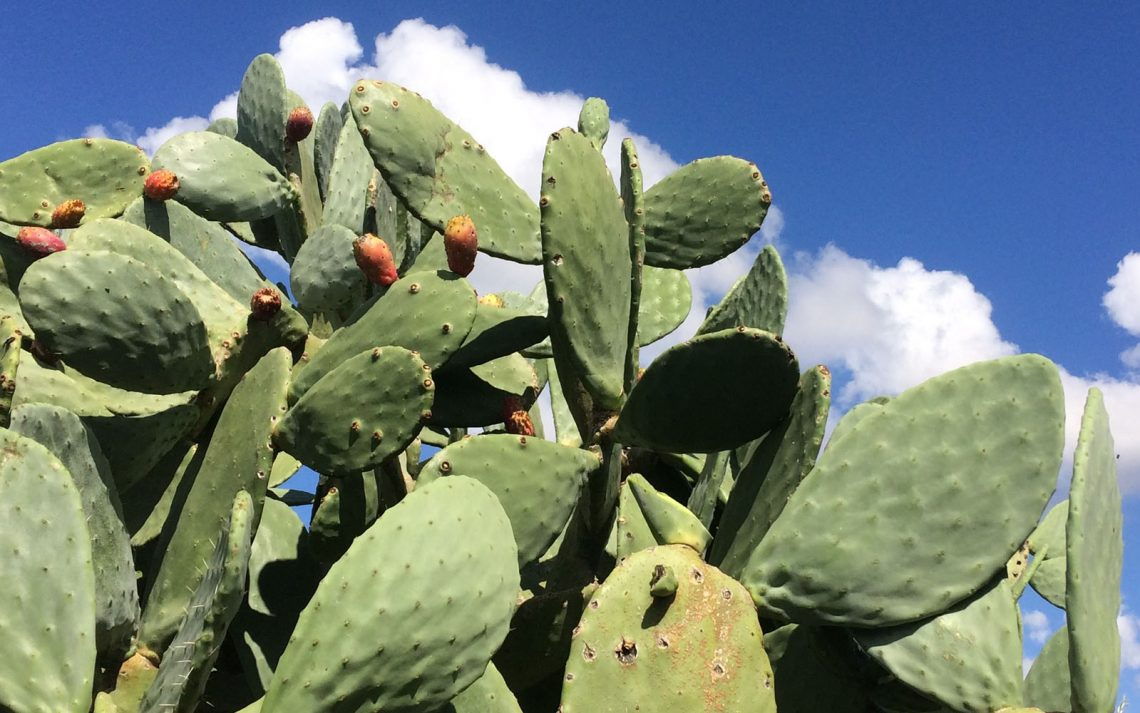 Una distesa di fichi d'India, nelle campagne modicane.