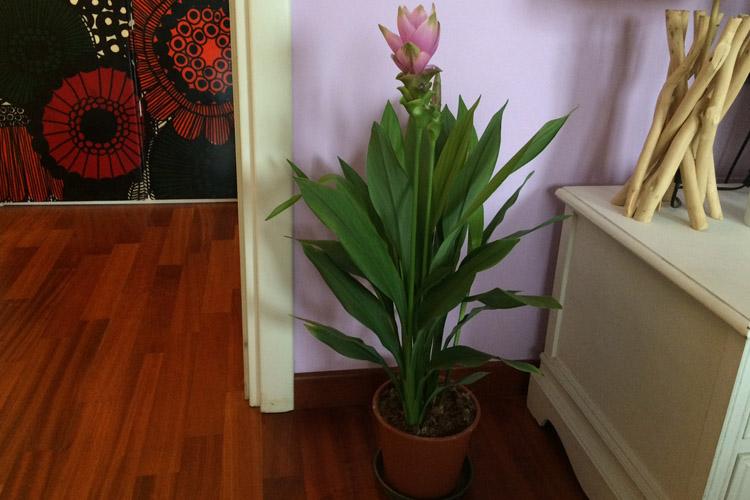 la pianta di curcuma fiorita in appartamento