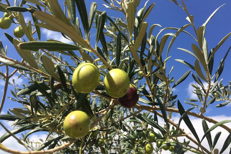 olive autunno Ragusa