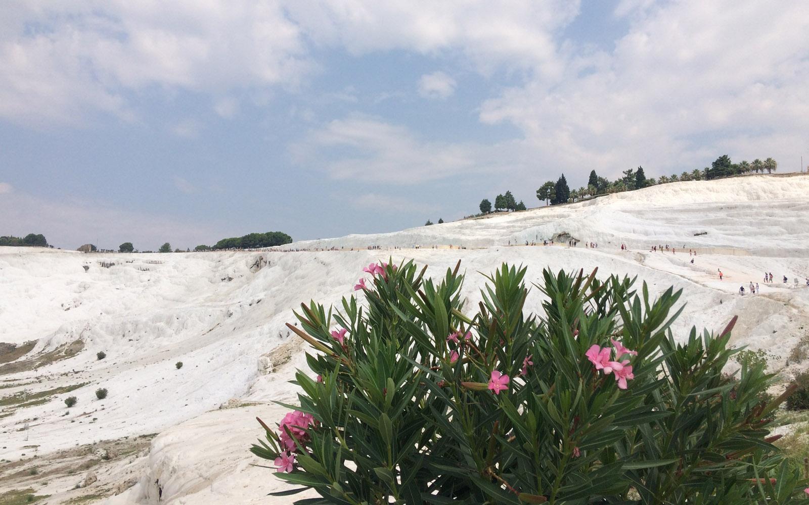 Oleandri rosa tra le rocce bianche di Pamukkale.