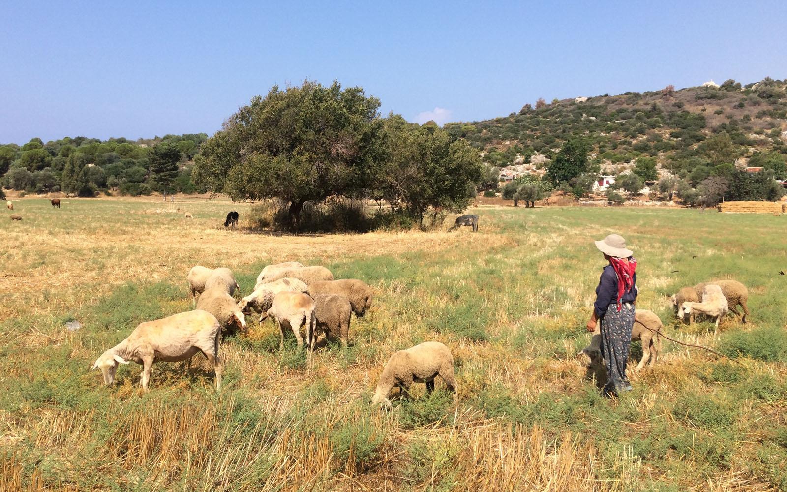 Una signora turca porta al pascolo il suo bestiame a pochi passi dalla spiaggia di Patara.