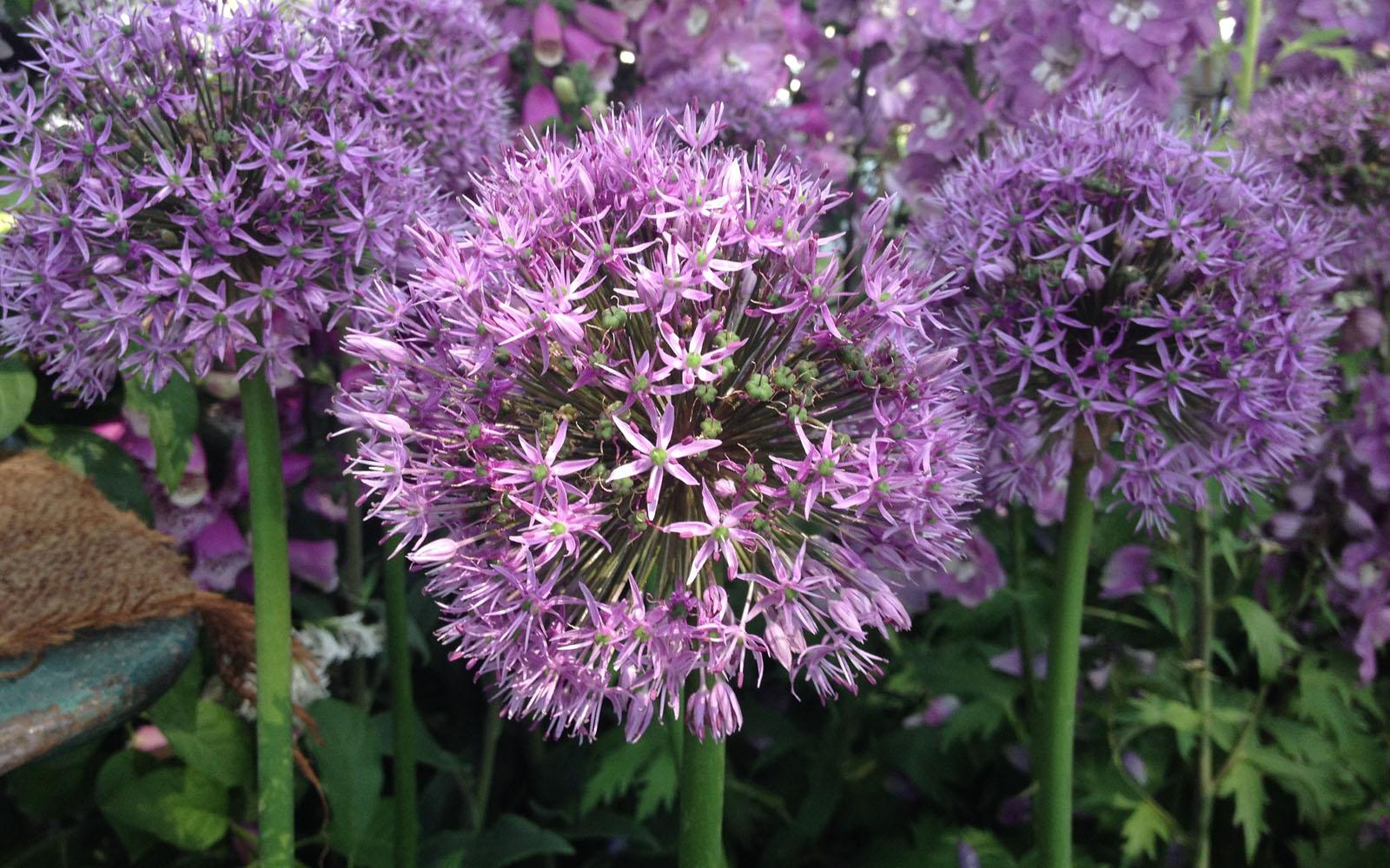 Fiori Selvatici Foto E Nomi aglio da fiore, un'aromatica originale in terrazzo