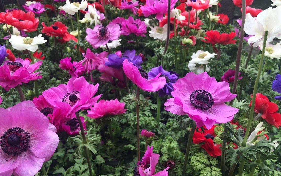 Fiori Selvatici Foto E Nomi anemone, il fiore del vento: mitologia e consigli pratici