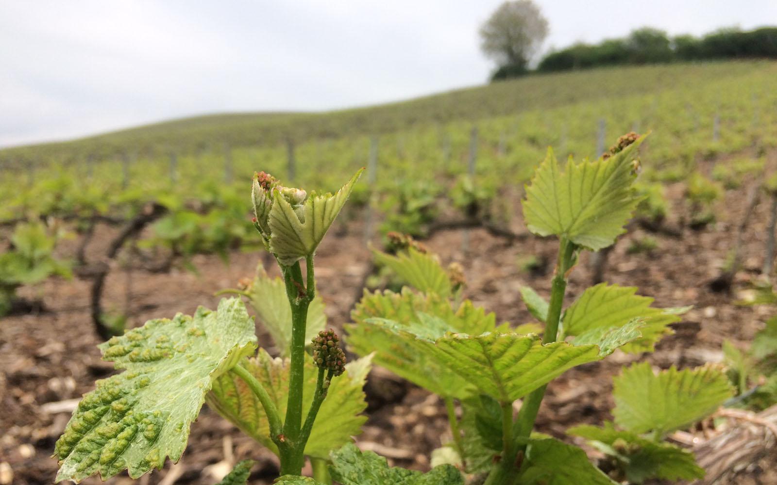 Uno dei molteplici vigneti della regione Champagne, in Francia.