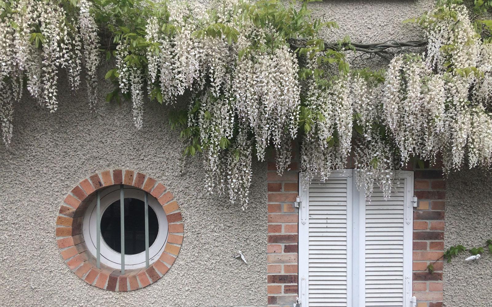 I glicini in fiore nel villaggio di Hautvillers, nella Champagne.