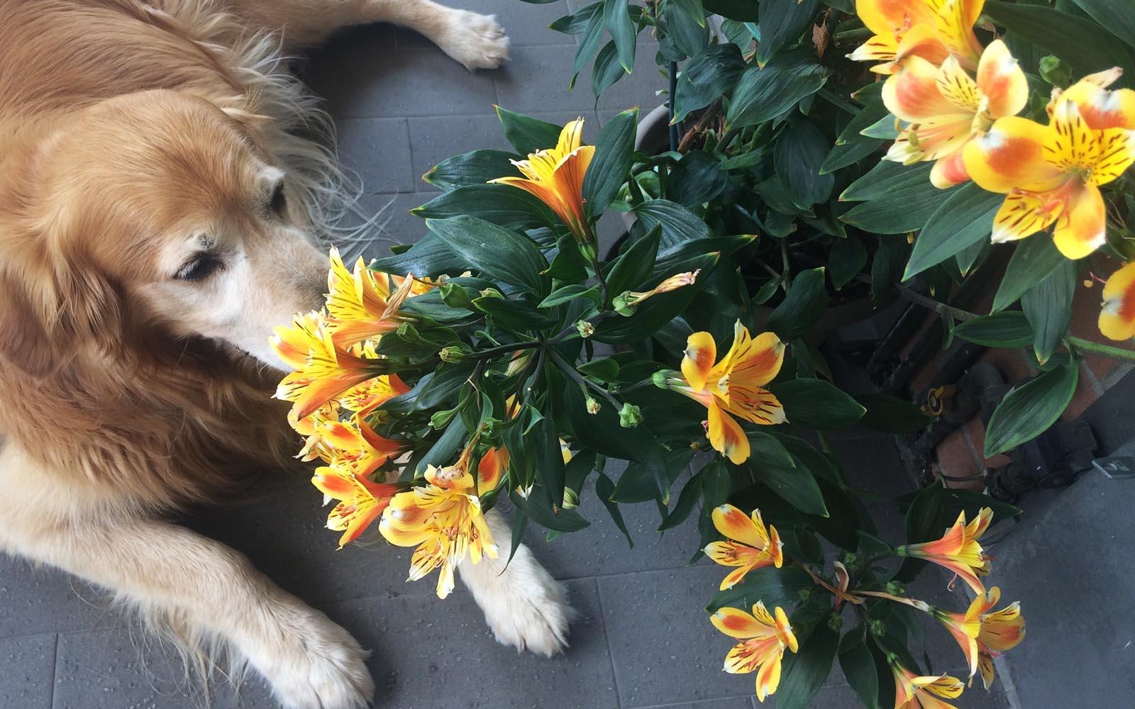 L'alstroemeria sul mio terrazzo di Milano, insieme al mio cane Felakuti.