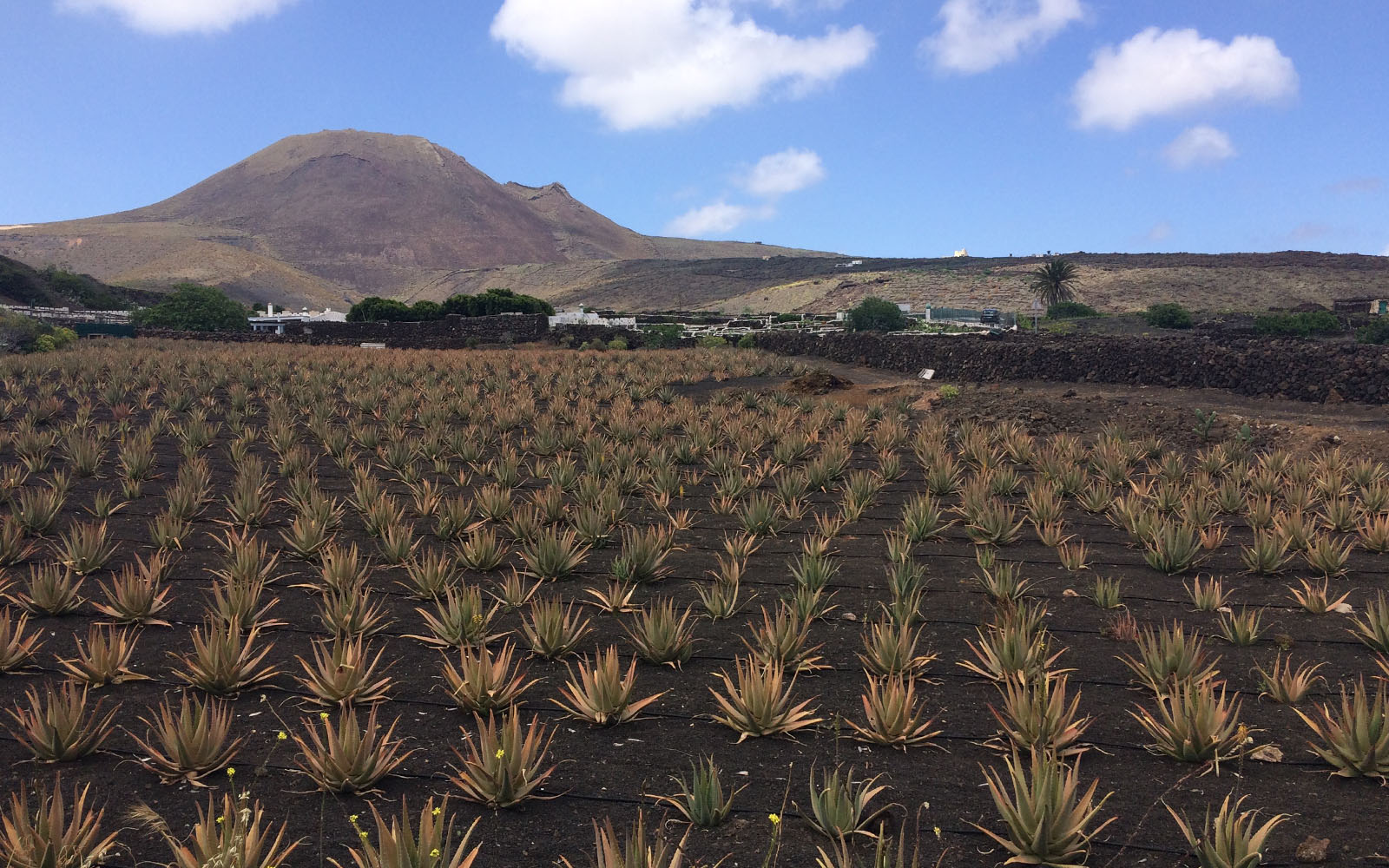 Una delle molteplici coltivazioni di aloe a Lanzarote.