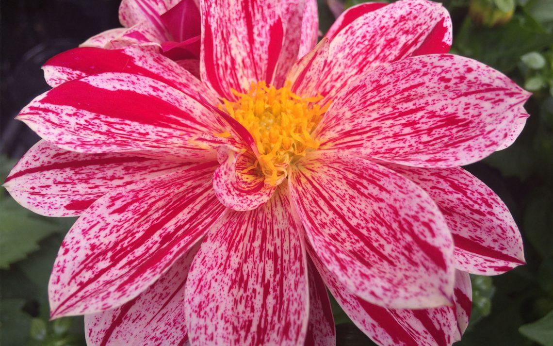 Coltivare Fiori Da Recidere fiori archivi | oltreilbalcone
