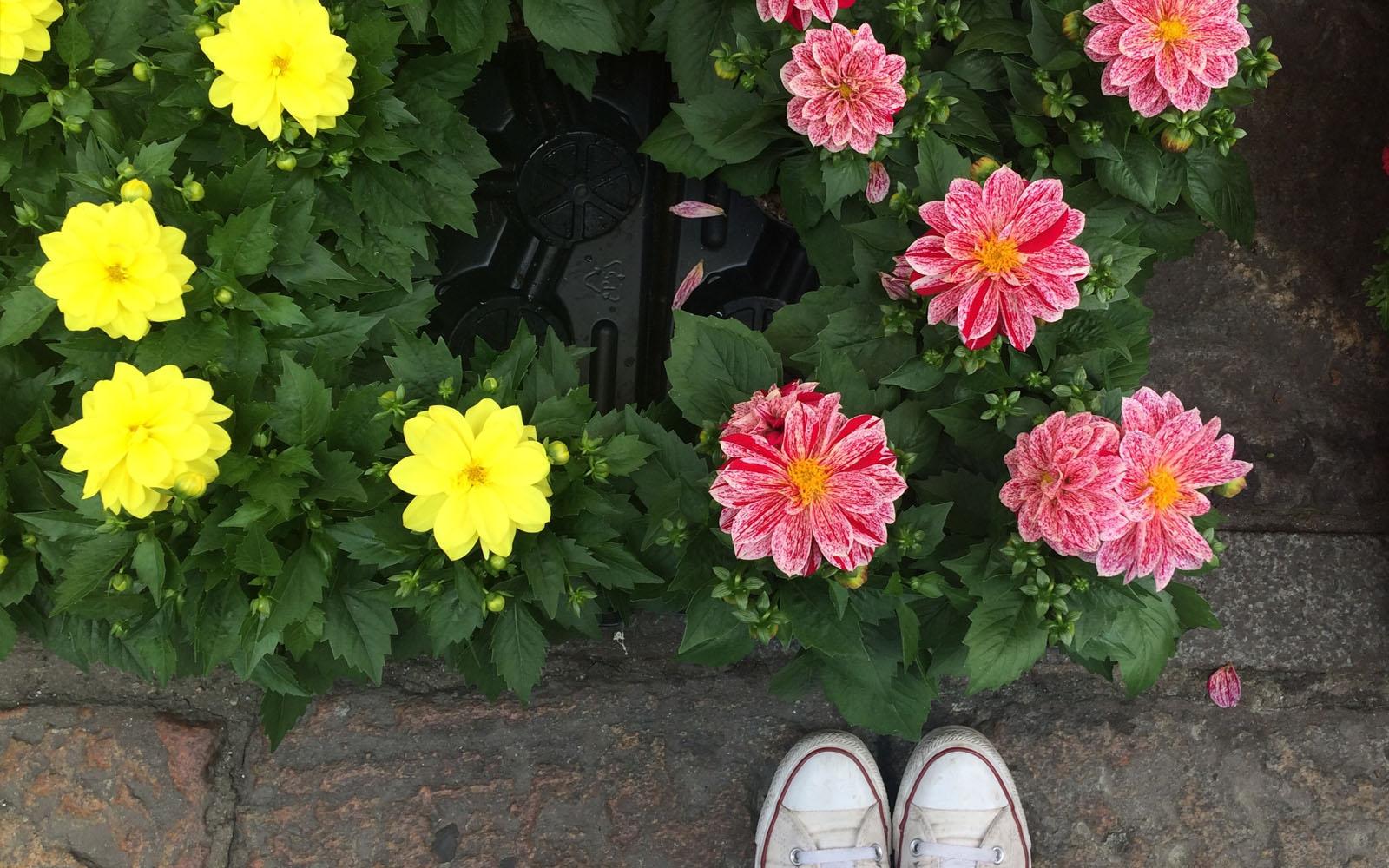 Dalia il trionfo del colore in balcone coltivazione e for Fiori per balconi soleggiati